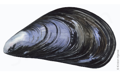 Anvendelsesmuligheder for produkter fra integreret blåmusling og havbrugsproduktion