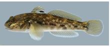 Sortmund – Neogobius melanostomus