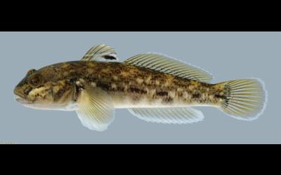 Sortmundet kutling – Neogobius melanostomus