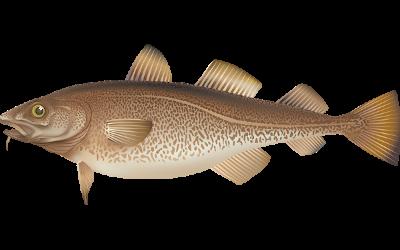 Optimering af hvidfiskressourcen
